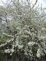 Prunus avium kz2.JPG