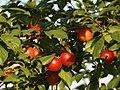 Prunus cerasifera 148572395.jpg