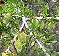 Prunus fasciculata 1.jpg
