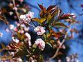 Prunus incisa var. kinkiensis 'Kumagaizakura' 03.jpg