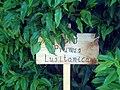 Prunus lusitanica DehesaBoyal.jpg