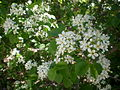 Prunus mahaleb 3c.JPG