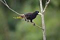 Psarocolius decumanus -Trinidad-8.jpg