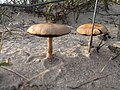 Psathyrella ammophila 100538870.jpg