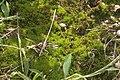 Pseudocrossidium hornschuchianum (a, 153251-482343) 8535.JPG
