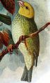 Psittirostra psittacea deppei1.jpg