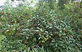 Psychotria capensis kz1.JPG