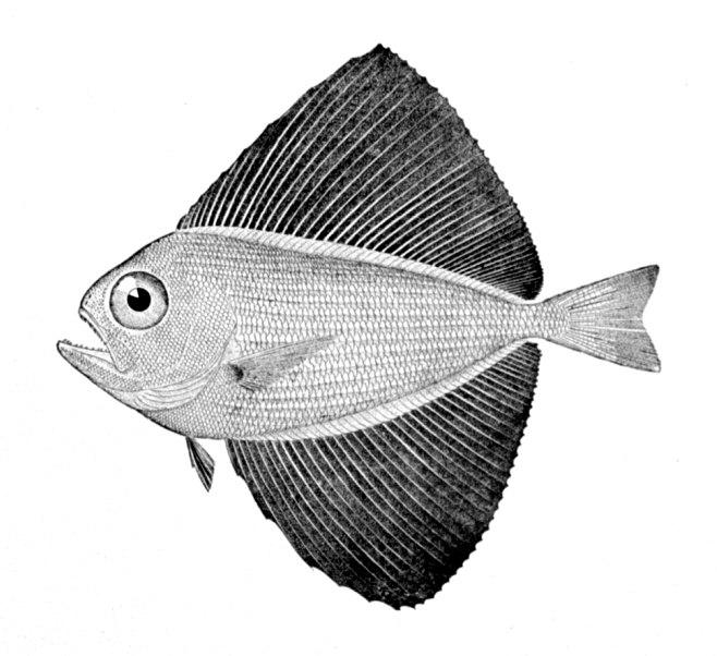 Pteraclis carolinus