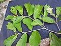Pterospermum reticulatum-3-mundanthurai-tirunelveli-India.jpg