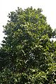 Pterygota alata var irregularis - Agri-Horticultural Society of India - Alipore - Kolkata 2013-01-05 2220.JPG