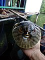 Pufferfish Sri Lanka.jpg