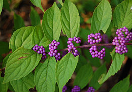 Purple Beautyberry Callicarpa dichotoma 'Early Amethyst' Berries Closeup 2875px