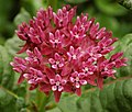 Purple Milkweed Asclepias purpurascens Head.jpg