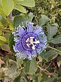 Purple Passionflower.jpg