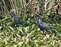 Purple Swamphen (Porphyrio poliocephalus) in Uppalapadu W IMG 8610.jpg