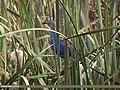 Purple Swamphen (Porphyrio porphyrio) (15893510262).jpg