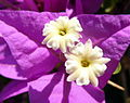 Purple flower (6037795737).jpg