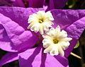 Purple flower (6037795737).jpg