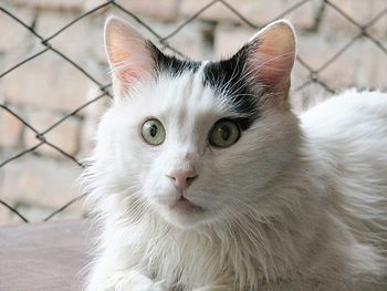 English: Black&White Turkish Van Cat