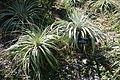 Puya berteroniana - San Francisco Botanical Garden - DSC09866.JPG