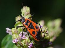 Cimice rosso nera carabiniera ambiente e biodiversit for Cimice insetto