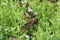 Queen butterflies (Danaus gilippus).jpg