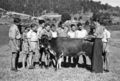 Queensland State Archives 2861 Cattle studies at Nambour State Rural School 1946.png