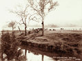 Queensland State Archives 5175 Swan Creek Cattle c 1899.png