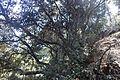 Quercus alnifolia kz6.jpg