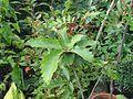 Quercus dentata - Flickr - peganum.jpg
