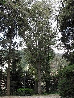 <i>Quercus leucotrichophora</i> species of plant