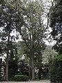 Quercus leucotrichophora (Serres de la Madone).jpg