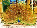 Quoi^ Faire le paon moi^ - Proud to be a peacock and so what... - panoramio.jpg