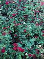 ROSE FLOWERS2.JPG