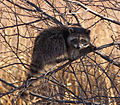 Raccoon (4152678243).jpg