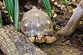 Radiating Tortoise at Chester Zoo 1.jpg