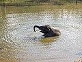 Raghu Juvenile Camp Elephant Bathing Seated Theppakadu Mudumalai Mar21 A7C 00641.jpg