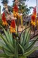 Rainbow lorikeet and Aloe sp Brisbane Botanic Gardens Mt Coot-tha IMGP3978.jpg