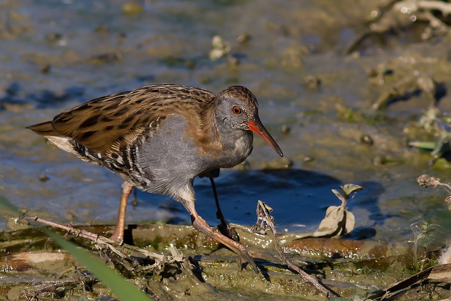 English:  Water Rail