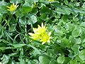 Ranunculus ficaria1.jpg