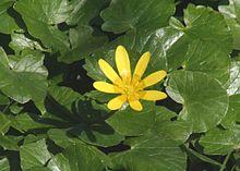 Ranunculus ficaria ENBLA01.jpg