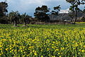 Rape blossoms field on January, Tahara 2010.JPG