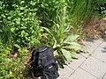 Really big plant ,-) - panoramio.jpg