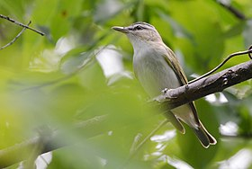 Red-eyed Vireo (17501303855).jpg