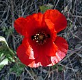 Red-horned Poppy^ Glaucium corniculatum - Flickr - gailhampshire.jpg
