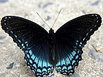 Red-spotted Purple/White Admiral