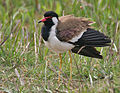 Red-wattled Lapwing (Vanellus indicus) preening near Hodal I IMG 5011.jpg