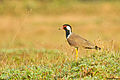 Red-wattled Lapwing @ NIlambur.jpg