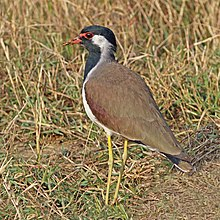 Red-wattled lapwing (Vanellus indicus indicus).jpg