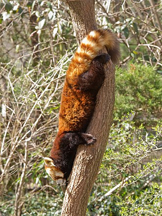 Red panda - Red panda descending head first